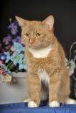 与一只白色乳房猫的美好的红色 库存图片