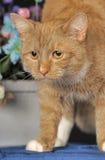 与一只白色乳房猫的美好的红色 图库摄影