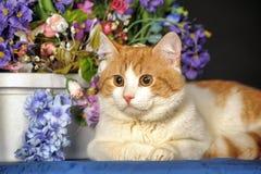 与一只白色乳房猫的美好的红色 免版税库存照片