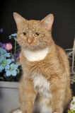 与一只白色乳房猫的美好的红色 库存照片
