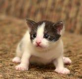 与一只白色小猫的滑稽的一点黑色 库存图片