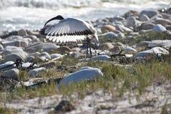 与一只白色苍鹭的美好的风景与在海滩的被涂的翼在好锄附近海角在开普敦,南非 免版税库存照片