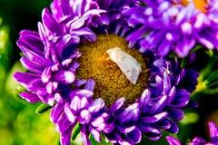 与一只白色蝴蝶的花翠菊 图库摄影