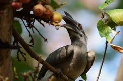 与一只眼睛的犀鸟在食物 免版税库存照片