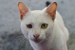 与一只瞎的眼睛的白色猫 库存图片