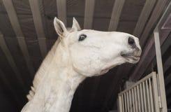 与一只短的鬃毛和黑眼睛的马在槽枥 库存图片