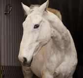 与一只短的鬃毛和黑眼睛的马在槽枥 免版税库存图片