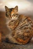 与一只红色猫的美好的蓬松灰色 库存照片