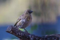 与一只红色眼睛的鸟在分支栖息 免版税库存图片