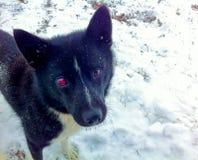 与一只红色眼睛的黑白色狗 免版税库存照片
