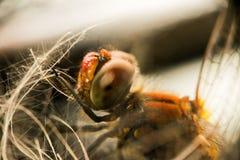 与一只红色腹部和大雕琢平面的眼睛的一只蜻蜓 宏指令 图库摄影