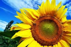 与一只蜂的一个开花的向日葵反对蓝天背景 图库摄影