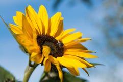与一只蜂的向日葵在蓝天背景 库存照片