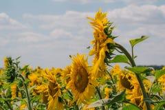 与一只蜂的向日葵在蓝天 免版税库存照片