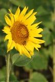 与一只蜂的向日葵在领域 免版税库存照片