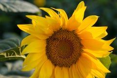 与一只蜂的向日葵对此 免版税库存照片