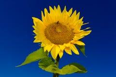 与一只蜂的唯一向日葵反对深蓝天 免版税库存图片