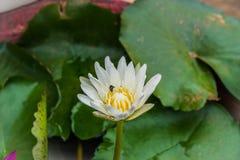 与一只蜂的白莲教花在庭院里 免版税库存图片