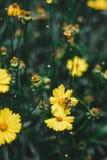 与一只蜂的美丽的黄色花在庭院里 库存图片