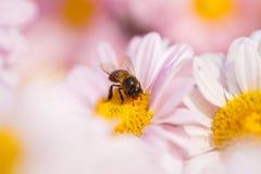 与一只蜂的菊花花在庭院里 免版税库存照片
