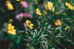 与一只蜂的黄色花在庭院里 免版税库存图片