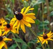 与一只蜂的黄色锥体花在上面 库存图片