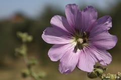 与一只蜜蜂的花在雄芯花蕊 免版税库存图片