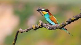 与一只蜻蜓的美丽的鸟在分支的额嘴舞蹈 股票录像