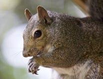 与一只逗人喜爱的滑稽的灰鼠的美好的背景 免版税库存图片