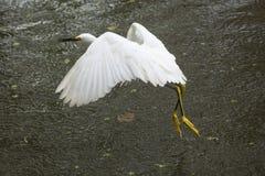 与一只青蛙的白鹭飞行在它的票据,佛罗里达 库存图片
