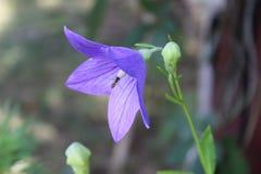 与一只飞行昆虫的被打开的桔梗花对此 库存图片