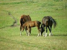 与一只驹的一个马家庭在草甸 库存照片