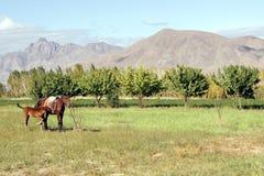 与一只驹的一匹马在山的背景中 库存图片
