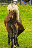 与一只驹的冰岛马在雷克雅未克附近的一个草甸 免版税库存图片