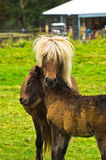 与一只驹的冰岛马在雷克雅未克附近的一个草甸 图库摄影