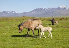 与一只驹的布朗马在一个绿色领域 免版税库存图片