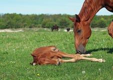 与一只驹的母马在一个绿色草甸 免版税库存图片