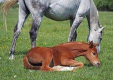 与一只驹的母马在一个绿色草甸 免版税库存照片