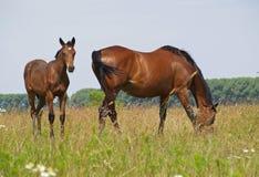 与一只驹的母马在牧场地 图库摄影