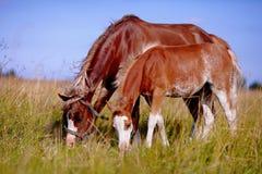 与一只驹的母马在草甸。 库存图片