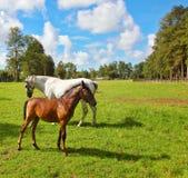 与一只驹的白马在绿色草坪 免版税库存照片