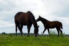 与一只驹的繁殖的马在牧场地 免版税库存图片