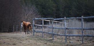 与一只驹的马在森林的边缘的小牧场 免版税图库摄影