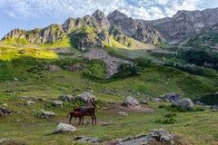 与一只驹的马在阿布哈兹的山的高山草甸 库存图片