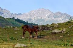 与一只驹的马在阿布哈兹的山的高山草甸 免版税库存图片