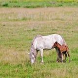 与一只驹的马白色在草甸 库存图片