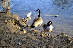 与一只鸥的两只加拿大鹅在水附近 图库摄影