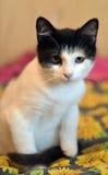 与一只黑小猫的白色 库存图片