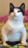 与一只黑小猫的白色 图库摄影