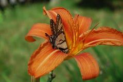 与一只蝴蝶的橙色黄花菜对此` s瓣 免版税库存图片